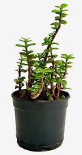 Root Bridges Green Jade Crassula Lucky Feng Shui Plant (Pot included)
