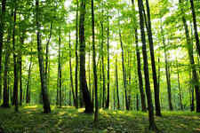 Sunny Forest-Wall Mural-15'wide by 8'high *