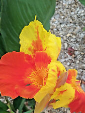 Canna lily Cattleya BARE ROOTED perennial plant
