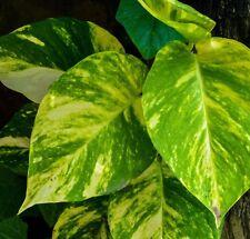 Green & Gold Epipremnum indoor trailing plant in 130mm pot