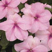 Impatiens Walleriana -Baby Pink - 50 Seeds