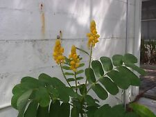 20 Candlestick Seeds - Candle Bush  (Cassia Alata) - Butterfly Host Plant