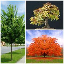 10 semi di acer campestre , hedge Maple seeds, semi bonsai