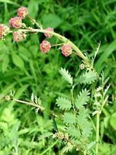 25 Graines Pimprenelle -Sanguisorba minor- Bio et Reproductibles