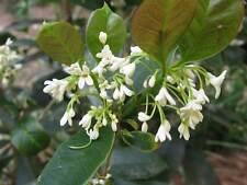 """OSMANTHUS FRAGRANS - TEA OLIVE  -  FRAGRANT -1 PLANT - 4""""  POT"""