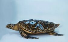 Turtle Taxidermy Excellent Condition