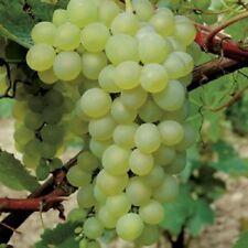 Large Green White Grape Vine Plant Muscat Artonel 3L Indoor Soft Fruit Edible