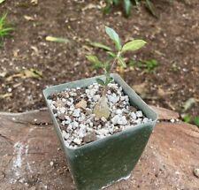 caudex rare succulent plant Petopentia natalensis exotic plant bonsai vine