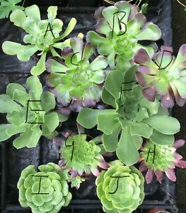 Aeonium plants - choose from several varieties as pictured