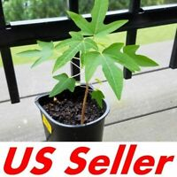 1 Papaya Live Plant, Juicy Orange Fresh Papaya, Fully Rooted Healthy and Strong