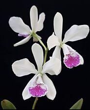 Cattleya Epc El Hatillo Maui Giant Floriferous Easy Orchid Windowsill 2 Inch Pot