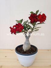 Adenium Obesum 30-35 cm (20 cm pot) (2020025)