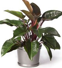ROJO CONGO Philodendron Red tropical indoor house plant in 200mm pot