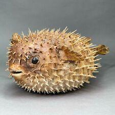 Fugu - poisson globe - taxidermie - Poisson lune