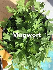 Organic Chinese Mugwort or 艾� or Artemisia Argyi or Silvery Wormwood Herb