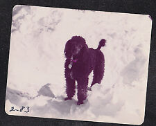 Vintage Photograph Adorable Black Poodle Puppy Dog Standing in the Snow
