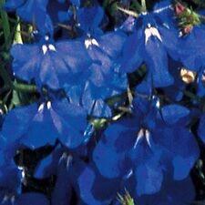 Lobelia- Marine Blue- 100 Seeds