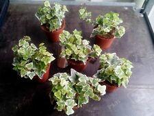 6 x Hedera Indoor/Outdoor Trailing Varigated Ivy 8cm Pots