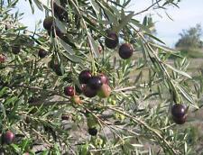 Olive Tree - 'Manzanillo' - Olea Europaea - live plant