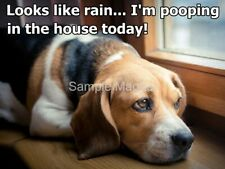 "BEAGLE Pooping in the House Today Funny  Fridge Magnet 4"" x 3"""