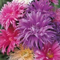 Kings Seeds - Aster Ostrich Plume Mixed -  250 Seeds