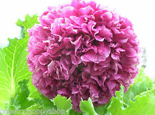 150 Poppy Flower Seeds Antique Lavender Peony Poppies Papaver Paeoniflorum #2