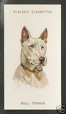 Rare 1940 UK Peter Biegel Dog Art Head Player Cigarette Card WHITE BULL TERRIER
