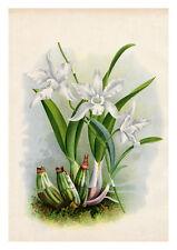 Laelia Autumnalis by Jean Linden Orchids A4 Art Print Flower Art
