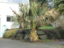 Sabal causiarum - Palmettopalme - 10 Samen - Palmen Samen