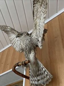 """Taxidermy Nice """"EAGLE"""" Excellent Composition!!!"""