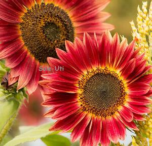 ❁ SONNENBLUME ROT ❁ 30 Samen ❁ Helianthus annuus Rote Sonne ❁ edle Blüten ❁