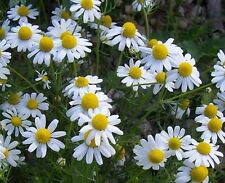 200 GERMAN CHAMOMILE SEEDS HEIRLOOM 2018 (non-gmo heirloom vegetable seed)