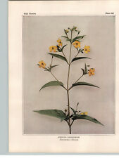 1934 Wildflower Book Plate Fringed Loosestrife Blueweed Swamp Candles