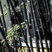 #564 10 graines purple bambou graines