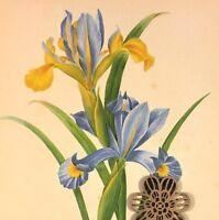 VTG Botanic Art Print Redoute Wildflowers Flora Engraving Repro PURPLE FLOWERS