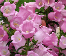 300 seeds Pink Canterbury Bells +gift