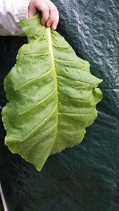 6x1000 Tabaksamen 6 Sorten Burley, Kentucky Orient.. Tabakpflanzen Tobacco Seeds