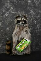 SKU 1628 Raccoon with Mike and Ike's Candy full body taxidermy mount