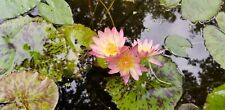 Tropical Water Lily Albert Greenberg Small 3-5 leaves 3-5in