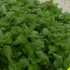 100 New Zealand Spinach Seeds - Everwilde Farms Mylar Seed Packet