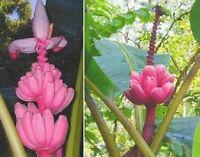 rosa Zwergbanane: winterhart, schnellwüchsig, lecker