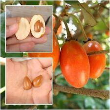 RARE 10 pcs Madhuca esculenta Seeds, Lamut Sida Tropical plant Seeds :V025