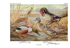 "1936 Vintage FUERTES BIRDS #14 ""SHOVELLER, WOOD DUCK"" Color Art Plate Lithograph"