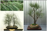 10 Samen der Astrophytum asteralis Gonzales,Sukkulenten,seeds succulents  G