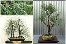 50 seeds of Casuarina cunninghamiana,Tropical Oak, bonsai seeds  C