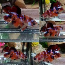 Nemo Galaxy Halfmoon Plakat Male - IMPORT LIVE BETTA FISH FROM THAILAND