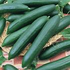 Tendergreen Burpless Cucumber Seeds | English Cucumbers Slicing Pickling 2022