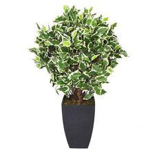 Ficus Houseplants Flowers