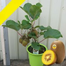Kiwi Fruit Seeds Mini Kiwi Fruit Seed Flower Bonsai Plants For Home Garden Sweet