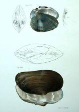Decoración restaurantes Fruits del mar Almeja Conchas Litografía siglo XIX